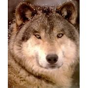 Видеокурс по изготовлению ковра из шкуры волка фото