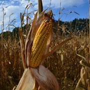 Семена кукурузы гибрид Мартиника ФАО - 330 фото