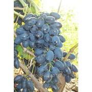 Виноград в Молдове фото