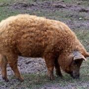 Разведение свиней породы Мангал фото