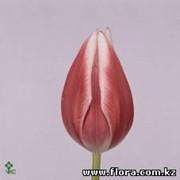Тюльпан Princess Vivi фото