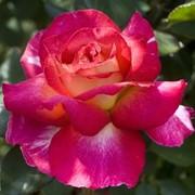 Розы чайно-гибридные, Роза большой театр, Роза садовая фото