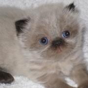 Персидские голубоглазые колор-пойнты фото