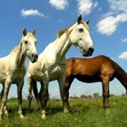 Комбикорма для лошадей КК-70 фото