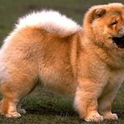 Дрессировка и воспитание собак породы Чау-чау фото