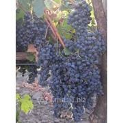 Виноград сорт Мерло фото
