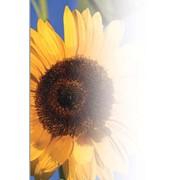 Соняшник (імпорт) 1 п.о Nk Tristan фото