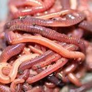 Черви красные калифорнийские, купить червей для рыбалки, Киев фото
