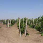Шпалера для виноградников ж/б фото