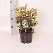 Османтус разнолистный Триколор -- Osmanthus heterophyllus Tricolor фото