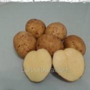 Картофель Пироль 2РС среднеранний фото