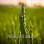 Cereale de griu in Chisinau фото