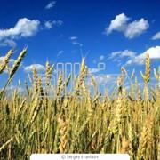 Пшеница фото
