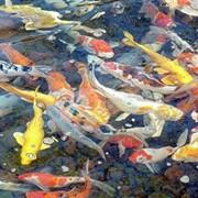Золотые рыбки для прудов фото
