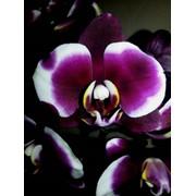 Миди Гаучо Орхидея фото