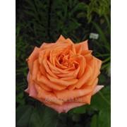 Комплексный уход за розами фото