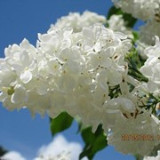 Сирень обыкновенная Флора фото