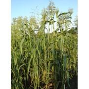 Сорго зерновое фото