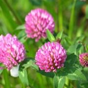 Клевер луговой (красный) (Trifolium pratense) фото