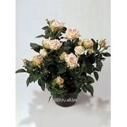 Роза Poetry Kordana фото