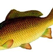 Карп (речная рыба) фото