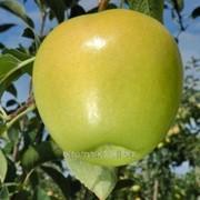 Яблоня Голден Делишес 2 фото