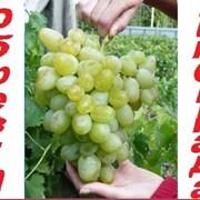 Профессиональная обрезка виноградного куста. фото