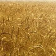 Сельскохозяйственная продукция пшеница фото