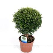 Мирт обыкновенный -- Myrtus communis фото