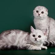 Британские и шотландские котята питомника Шанталь фото