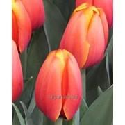 Тюльпан Трипл А ( Tripl A) к 8 марата фото