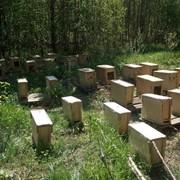 Пчелосемьи пчелопакеты Карпатка, Карника Санкт-Петербург фото