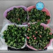 Каланхоэ Блоссфельда микс -- Kalanchoe blossfeldiana mixed фото