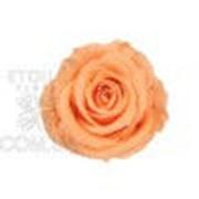 Роза Стандарт 6гол. персиковый фото
