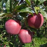 """Сорт яблок """"Глостер"""" фото"""