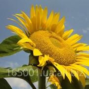 Подсолнух, семена Меркурий НВК Логос фото