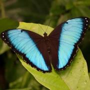 Живые бабочки из Бразилии фото