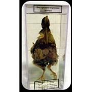 Noname Влажный препарат «Внутреннее строение птицы» арт. Ed17653 фото