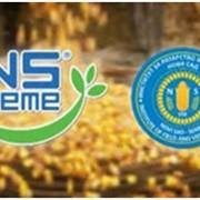 Семена кукурузы НС 208 (NS SEME Сербия) фото