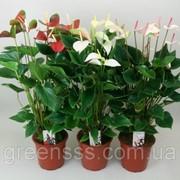 Антуриум андре микс -- Anthurium andreanum mixed фото