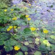 Водные растения оксигенаторы 13,0 25 фото