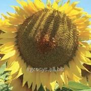 Семена подсолнечника ЛГ 5635 (LG 56.35) фото