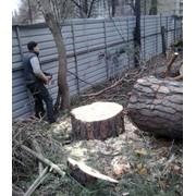 Спиливание деревьев в Киеве и Киевской области фото