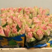 Голландская роза Belle Rose Длина: 70 см. фото