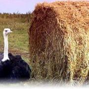 Фото страусов фото