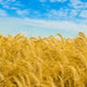 Первого класса пшеница фото