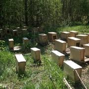 Пчелы пчелопакеты Карника Карпатка Санкт-Петербург фото