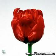 Тюльпан Arie Alkemade фото