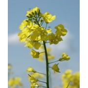 Семена рапса озимого фото