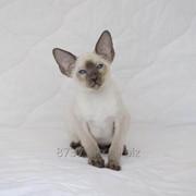 Сиамский котенок с клубными документами фото